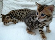 savannah , ocelot kitten,  serval kitten and margay kittens for sale.